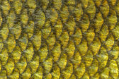 Real Tench Fish Scales Macro — Stock Photo