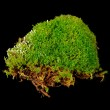 Clump of Moss Close-Up on Black Background — Stock Photo #47635191