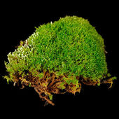 Clump of Moss Close-Up on Black Background — Stock Photo