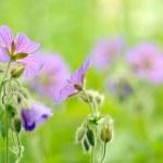 Purple Geranium Pretense (Meadow Cranesbill) Flowers in the Meadow — Stock Photo #47796507