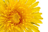 Yellow Dandelion (Taraxacum Officinale) Flower Close-Up on White Background — Stock Photo