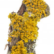 Xanthoria Parietina (Golden Shield Lichen) Close-Up on Tree Bark — Stock Photo #48486485