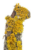 Xanthoria Parietina (Golden Shield Lichen) Close-Up on Tree Bark — Stock Photo