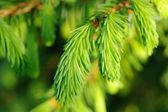 New Spruce Branches Close-Up — 图库照片