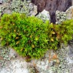 Moss on Tree Bark Close-Up — Stock Photo #48556197