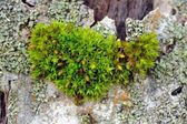 Moss on Tree Bark Close-Up — Stock Photo