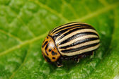 Colorado Potato Beetle on Potato Leaf — Stock Photo