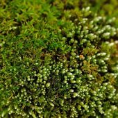 Green Moss Macro — Stock Photo