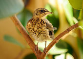 Fieldfare on Tree — 图库照片