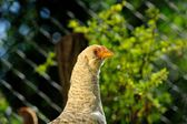 Curious Young Chicken Close-Up — Stock Photo