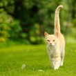 Graceful Cat Walking on Green Grass (16:9 Aspect Ratio) — Stock Photo #49994685