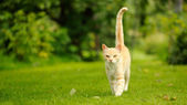 Graceful Cat Walking on Green Grass (16:9 Aspect Ratio) — Stock Photo