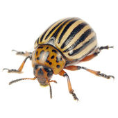 Colorado Potato Beetle Isolated on White Background — Stock Photo