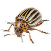 在白色背景上孤立的科罗拉多马铃薯甲虫 — 图库照片