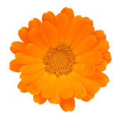 Calendula (Pot Marigold) Flower Isolated on White Background — Stock Photo