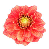 Red Dahlia Flower with Yellow Stripes Isolated on White Background — Stock Photo