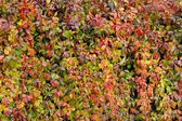 Parthenocissus Quinquefolia or Virginia Creeper Changing Color in Autumn — Stock Photo