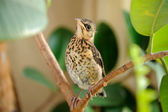 Cute Young Fieldfare on Tree — Stockfoto