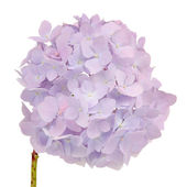 Beautiful Light Purple Hydrangea Flowers on White Background — Stock Photo