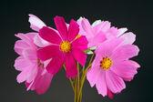 Multicolored Garden Cosmos Flowers on Dark Background — Stock Photo