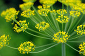 Dill Umbel Close-Up — Foto Stock