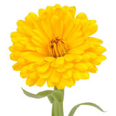 Yellow Double Calendula Flower on White Background — Stock Photo