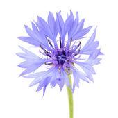 Blue Cornflower Close-Up on White Background — Stock Photo