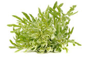 Wormwood Isolated on White Background — Stock Photo