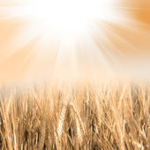 Green wheat with the sky — Stock Photo