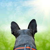 French bulldog on the natute background — Stock Photo