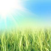 Grano verde con il cielo — Foto Stock
