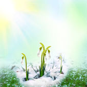 Spring snowdrops on the snow — Stock Photo