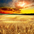 Yellow field eith sky - Stock Photo