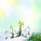 Bucaneve di primavera sulla neve — Foto Stock