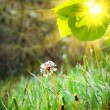 White dandelion on the green grass - Stock Photo