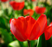 Red spring tulip on the nature background — Stock Photo