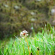 White dandelion on the green grass — Stock Photo