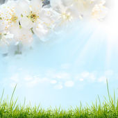 空と白い桜の花 — ストック写真