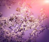 Blanca flor de la cereza con el cielo — Foto de Stock