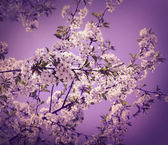 White cherry flower with the sky — Stock Photo