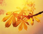 Каштан листьев на небо задний — Стоковое фото