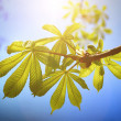 Chestnut leafs on the sky backgroung — Stock Photo