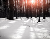 Beautiful winter forest in sunrise — Stock Photo