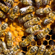 Bees — Stock Photo #31732565