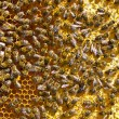 Many bees on honeycomb — 图库照片