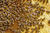 Many bees on honeycomb — Stock Photo