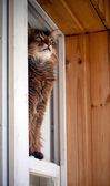 Brunátný somali kočka sezení v okně — Stock fotografie