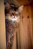 Ruddy somali cat seating in a window — Stock Photo