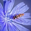 Stock Photo: Bee loaded with pollen on chicory flower