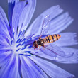 Bee loaded with pollen on the chicory flower — Stock Photo